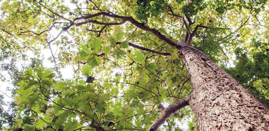 teck arbre